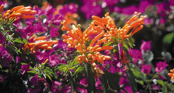 Der Duft der Lotusblüte