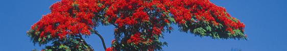 Flammenbaum in schönster Blüte