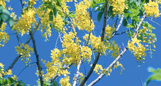 Wo der Parfümbaum wächst